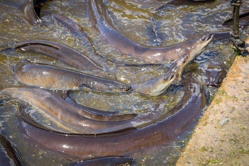 Ålar som lyfter huvud ut ur vatten för mat royaltyfri bild