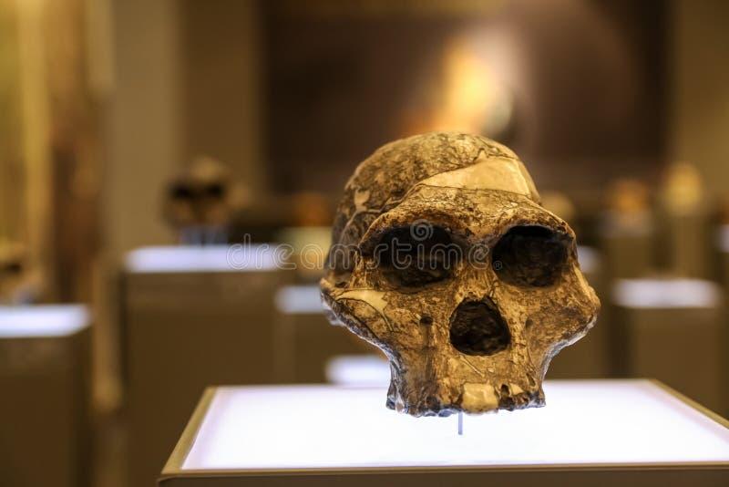 Åldrig skalle på en museumställning royaltyfri bild