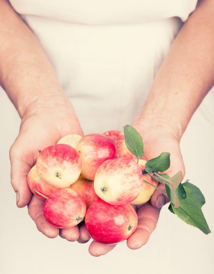 Åldringhänder som rymmer organiska nya äpplen royaltyfria bilder