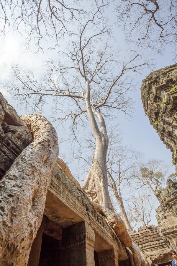 Århundrade-gamla träd, tempel för Ta Prohm, Angkor Thom, Siem Reap, Cambodja arkivbild