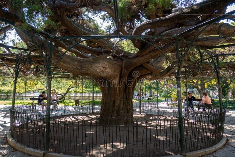 Århundrade-gammalt cederträträd, Lissabon royaltyfri fotografi