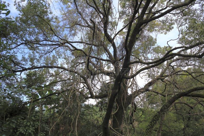 Århundrade-gammalt kamferträd arkivfoto