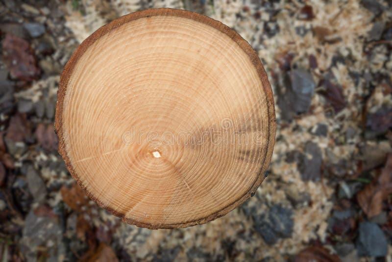 Årliga cirklar av en liten sågad-av trädstam royaltyfri fotografi