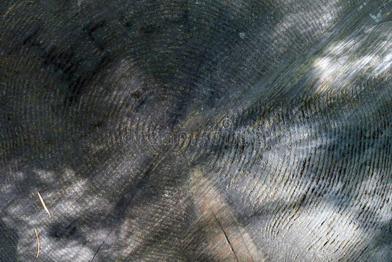 Årliga cirklar; tillväxtcirkel; träcirkel royaltyfri bild