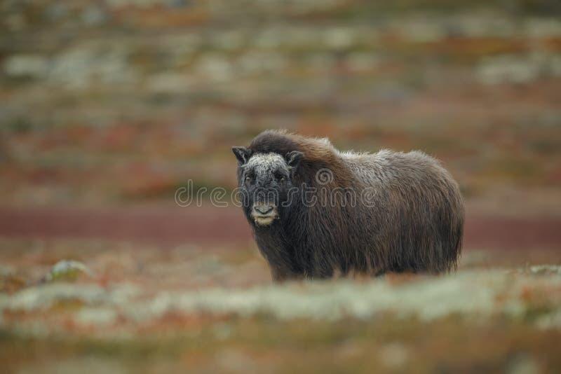 Årsgammal djurungemyskoxe i Norge arkivfoton