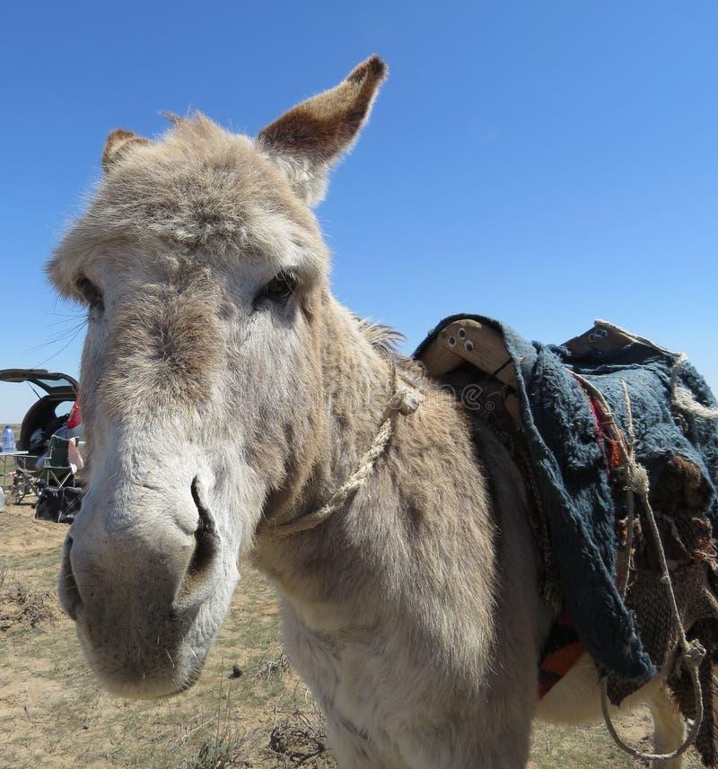 Åsna i öken nära Muborak, Uzbekistan April 13 2014 arkivfoton