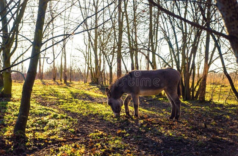 Åsna i skog royaltyfri bild
