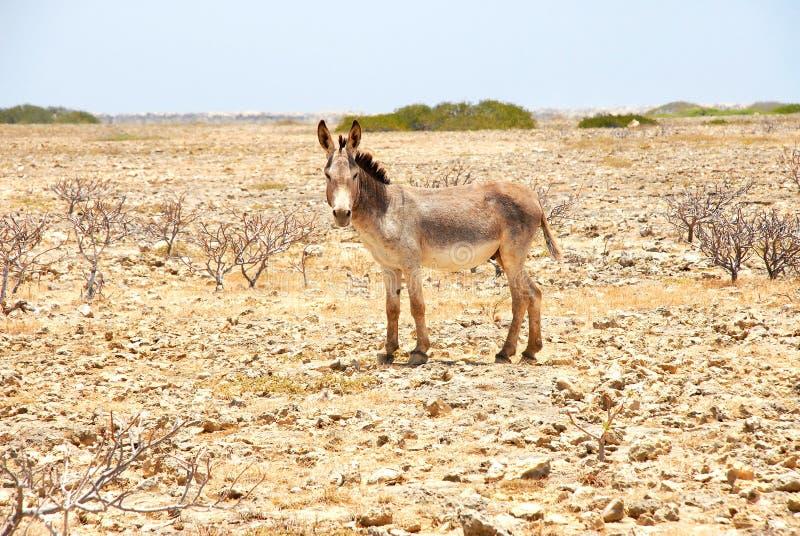 Åsna på Bonaire royaltyfria foton