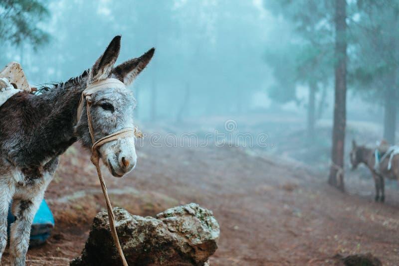 Åsna som från sidan står nära pinjeskogen på den tidiga dimmiga morgonen som är klar att arbeta royaltyfria foton