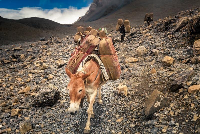Åsnahusvagn i Nepa royaltyfri fotografi