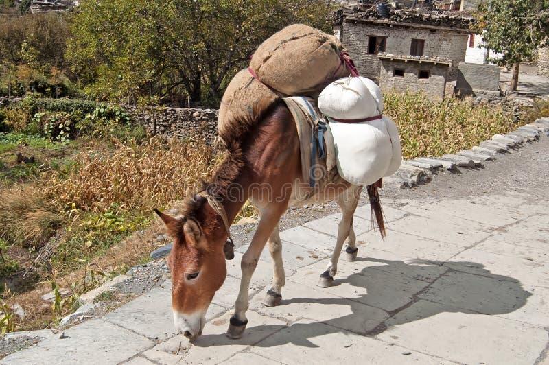 Åsnan bär gods nära den Marpha byn i Nepal mustang arkivbilder