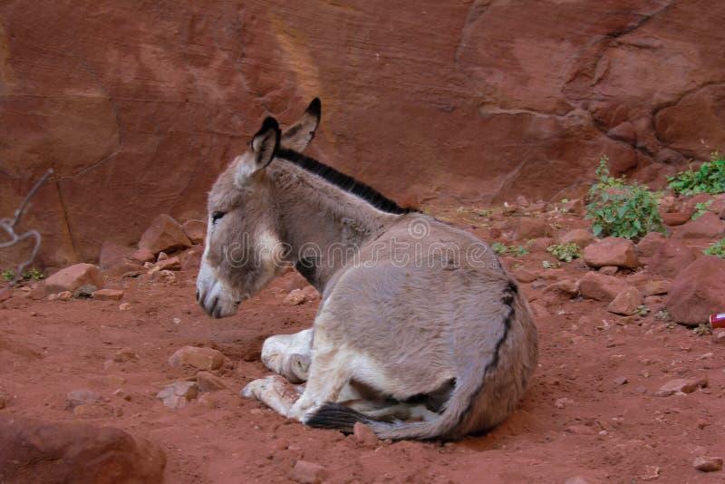 Åsnan vilar i Petra Jordan arkivfoto