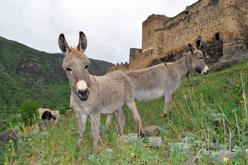 Åsnor är betande nära fästningen Khertvisi royaltyfria foton