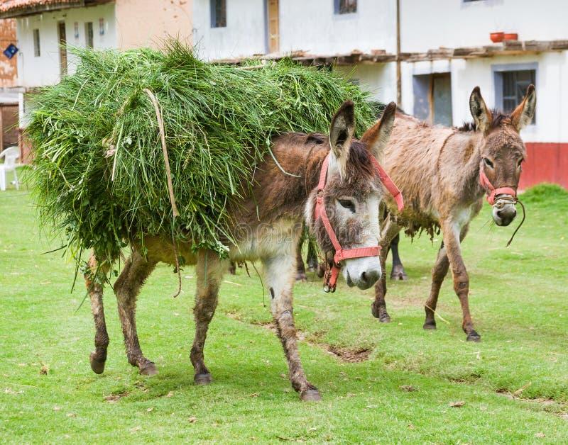 Åsnor bär påfyllningen i en landsbygd i Peru royaltyfria bilder