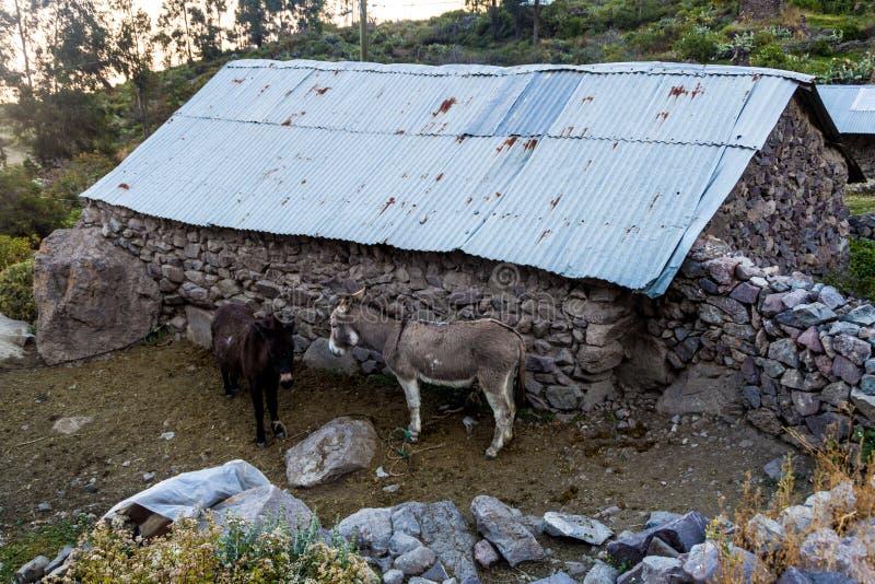 Åsnor i den Tapay byn royaltyfria foton