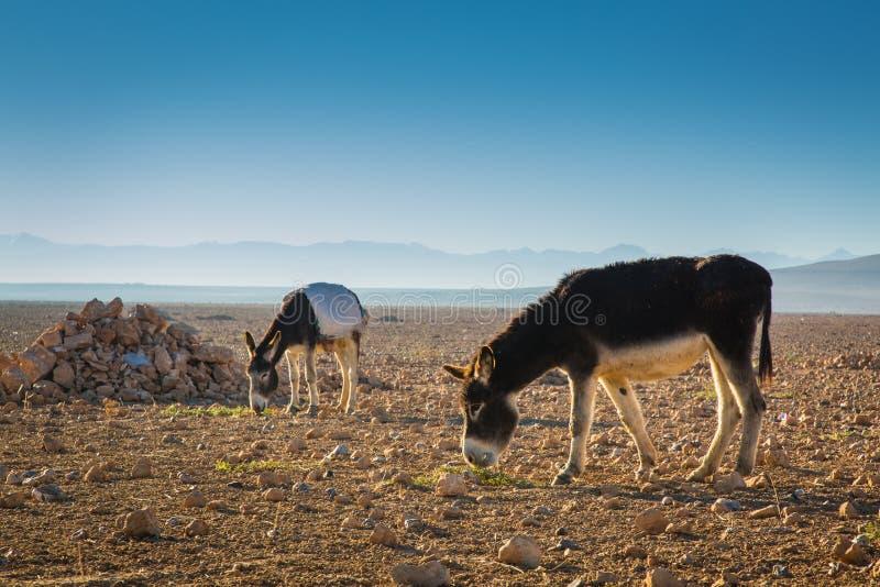 Åsnor i ett fält i Marocko fotografering för bildbyråer