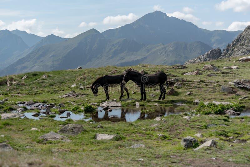 Åsnor i Parcen Naturlig de la Vall de Sorten arkivbilder