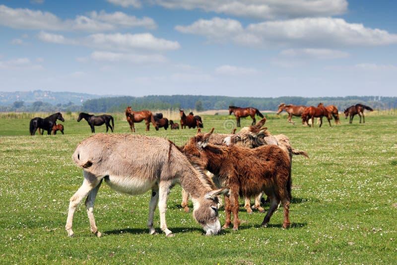 Åsnor och hästar royaltyfri foto