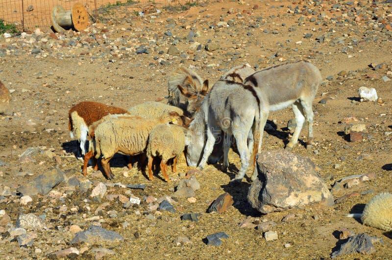 Åsnor och sheeps på lantgården arkivbild