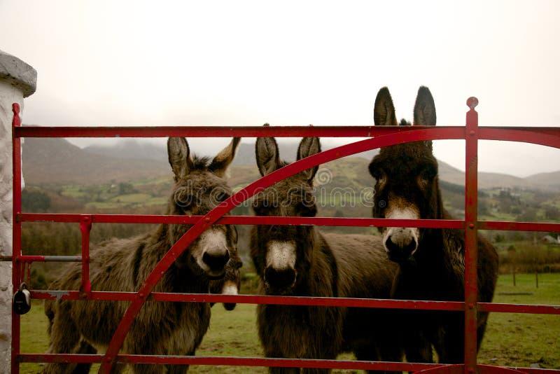 Åsnor på porten i Irland royaltyfri fotografi