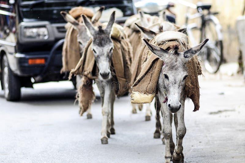 Åsnor som går på en gata som carying ett bagage i Indien royaltyfri foto