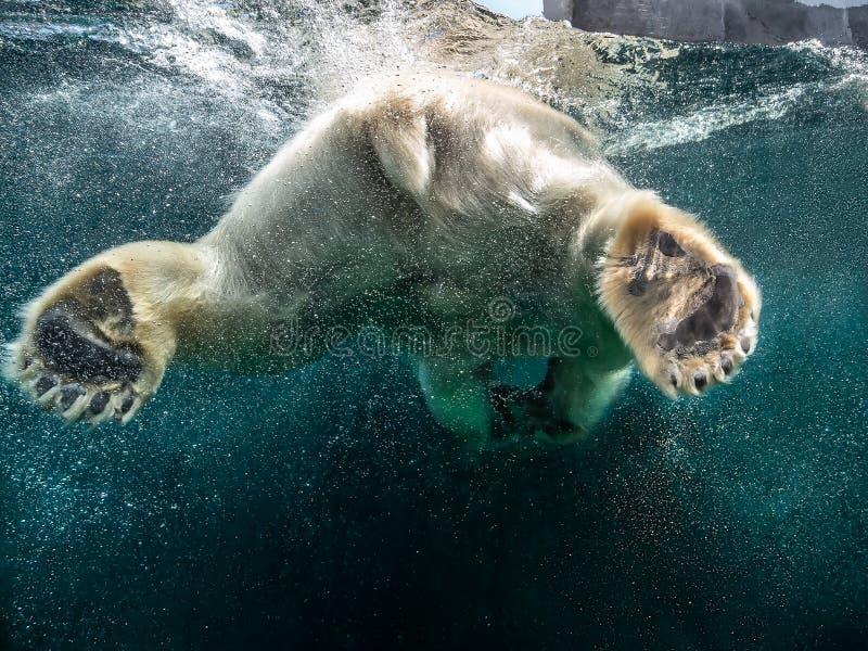 Åtgärda closeupen av isbjörnen med stort tafsar att simma som är undersea med bubblor under vattenyttersidan i en djurlivzoo royaltyfri foto