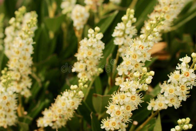 Åtskilliga blommagrova spikar av Laurel Hedge blommar - körsbärsrött lager - prunusen Rotundifolia royaltyfria foton