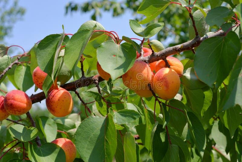 Åtskilliga mogna prickiga aprikors på en filial arkivbilder