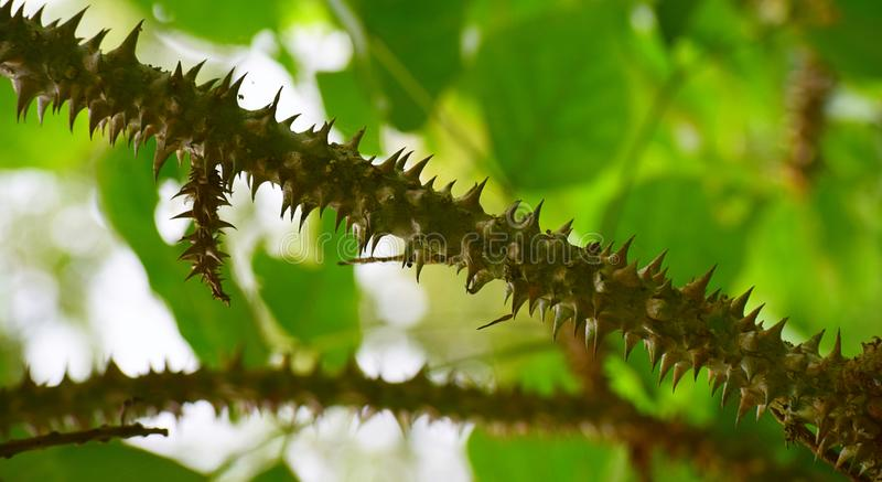 Åtskilliga taggar på taggig trädfilial med grön bakgrund royaltyfria foton