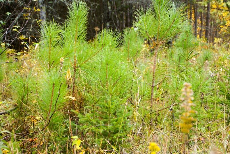 Åtskilliga variationer av litet sörjer träd på skogsmarkjordningen nära Hinckley Minnesota arkivfoton