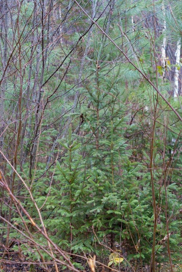 Åtskilliga variationer av sörjer träd blandade med buskar på ett skoggolv nära Hinckley Minnesota royaltyfri bild