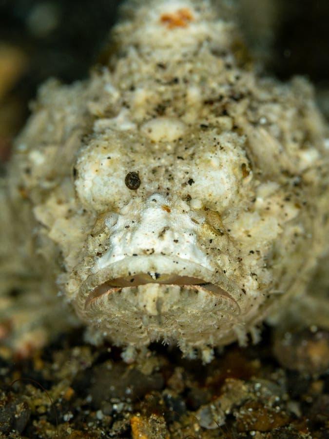 恶魔石头鲈, Scorpaenopsis diabolus Lembeh,北部苏拉威西岛 免版税库存照片