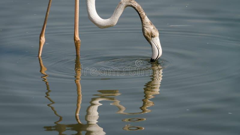 搜寻食物的桃红色火鸟在水中 免版税库存图片