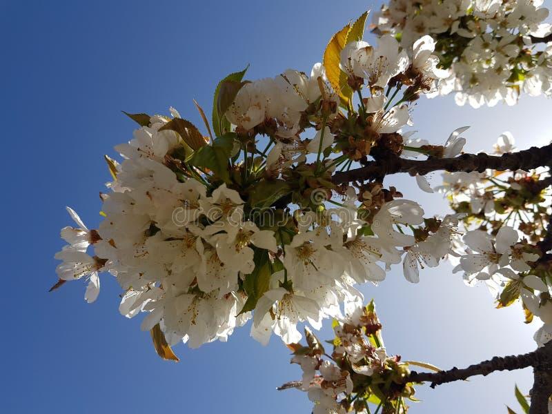 杏仁花在充分的春天 杏仁开花由到达报道所有分支的它的白色和桃红色口气叫 免版税图库摄影