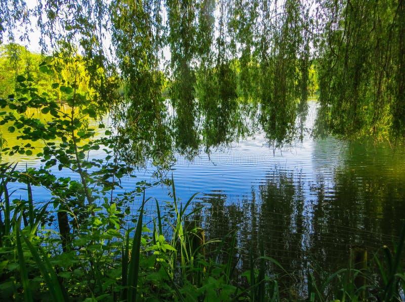 杨柳分支弯曲在湖的绿色水 免版税图库摄影