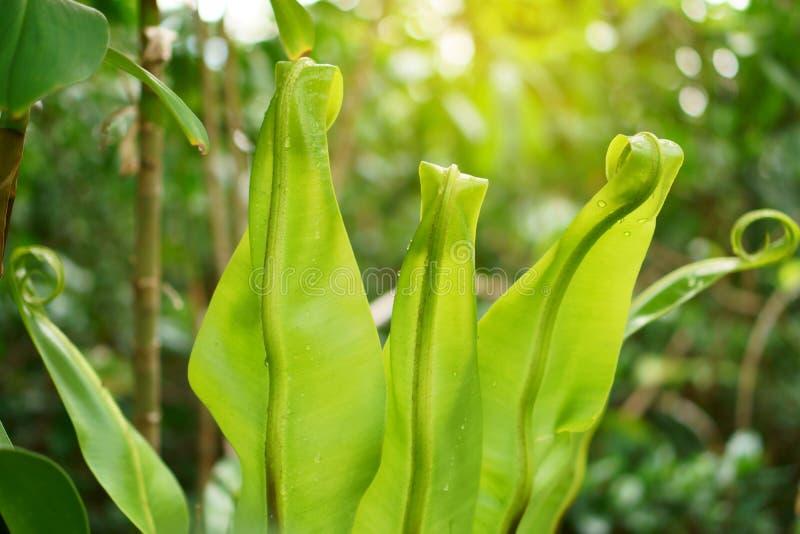 束新鲜的绿色叶子卷起,鸟的生长在阳光下的巢蕨叫作为乌鸦巢蕨是一棵附生植物 图库摄影