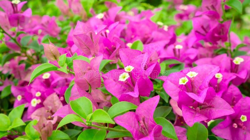 束美丽的桃红色Bougianvillea瓣和小的白色雌蕊在绿色叶子背景 库存照片