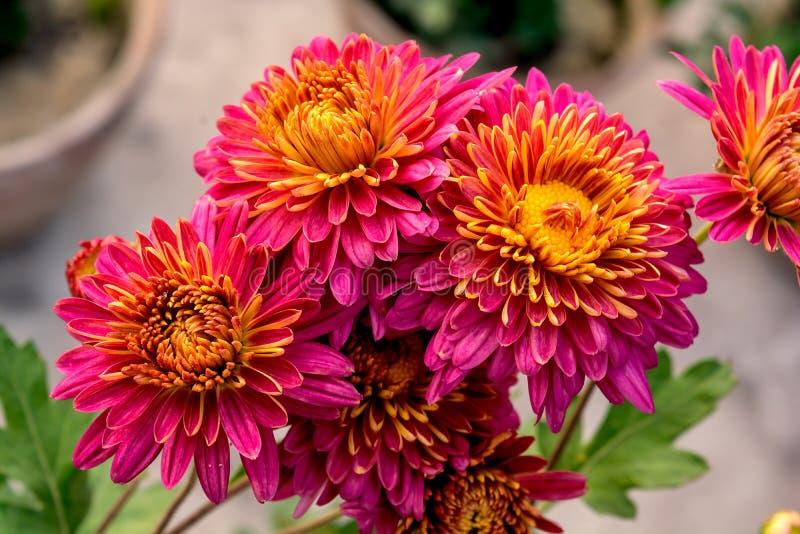 束美好的桃红色和黄色混合颜色菊花花或者Chandramallika 免版税库存照片