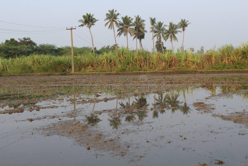 村庄农夫土地用甘蔗和椰子 库存图片