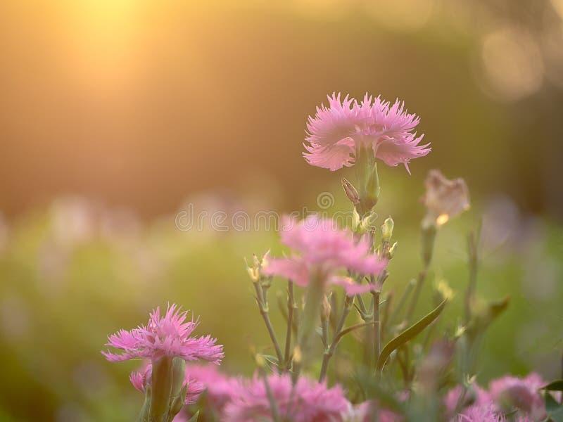 桃红色康乃馨的领域;在背景日落的开花的花 库存照片