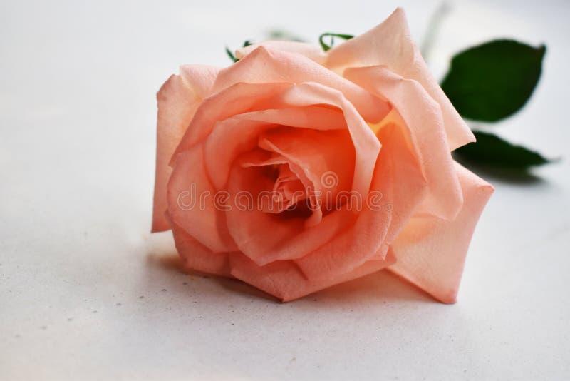 桃红色在白色背景隔绝的玫瑰花美丽的花束  免版税库存照片
