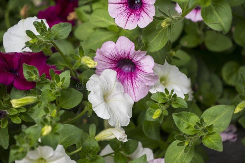 桃红色和白色喇叭花Petunioideae开花宏观特写镜头作为背景 选择聚焦 充分图象的五颜六色的喇叭花, 库存照片