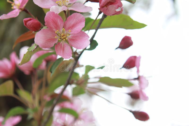 桃红色樱花 库存照片