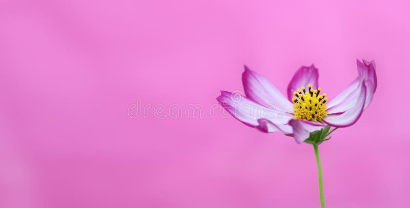 桃红色花横幅 开花在春天和夏天特写镜头期间的紫色和桃红色野花狂放的波斯菊宏观照片背景 免版税库存照片