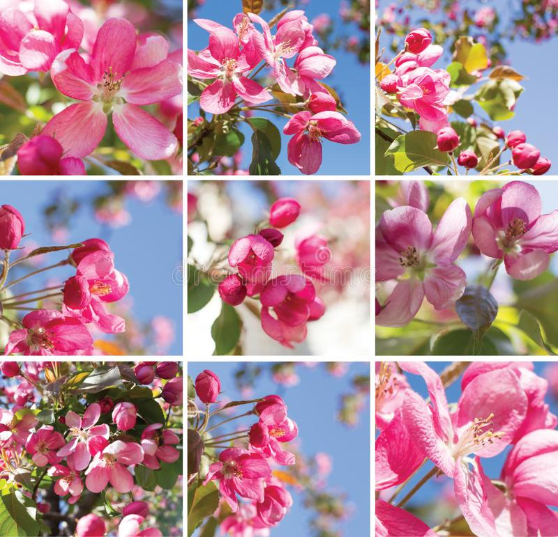 桃红色苹果花,春天开花拼贴画 免版税库存图片