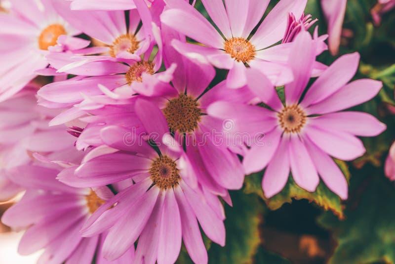 桃红色颜色2 Pericallis hybrida 免版税库存照片