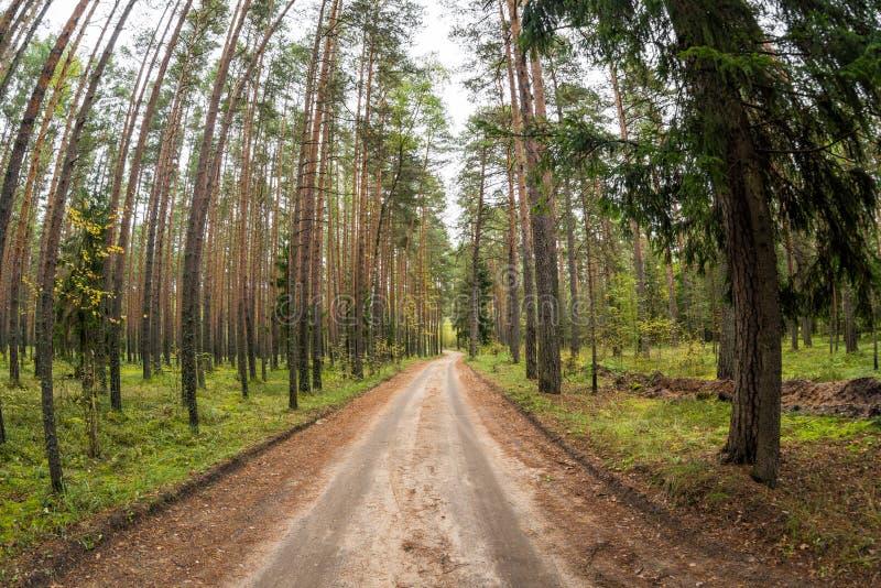 森林公路在杉木森林里 免版税库存图片