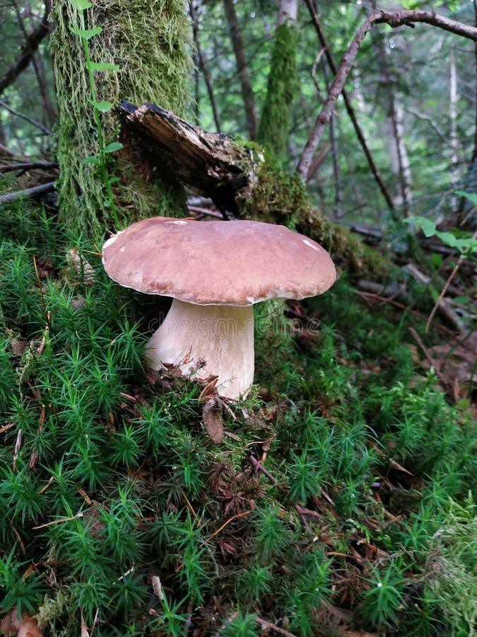 森林查出的蘑菇白色 库存图片