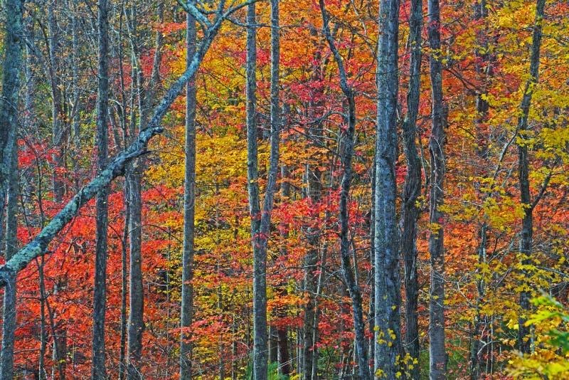 森林活与秋天的红色和黄色颜色 库存图片