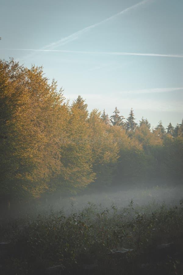森林边缘在清早金黄阳光下与滚动在通过分支的雾 库存图片